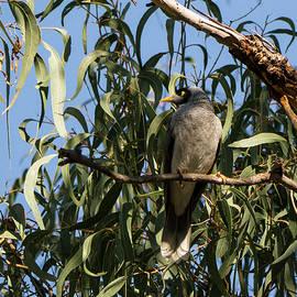 Steven Ralser - Noisy Miner Bird 2 - Canberra - Australia