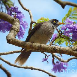 Noisy Miner in Jacaranda Tree by Trudee Hunter