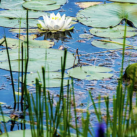 North American White Water Lily