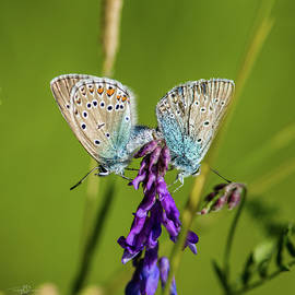 Northern Blue's Mating by Torbjorn Swenelius