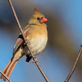 Morris Finkelstein - Northern Cardinal Female