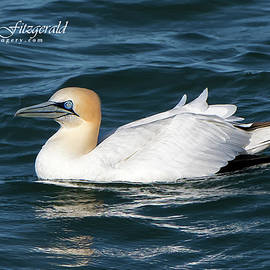 Northern Gannet On The Water by Mike Fitzgerald