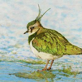 John Birnie - Northern Lapwing