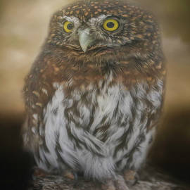 Northern Pygmy Owl by Teresa Wilson