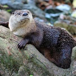 Cynthia Guinn - Northern River Otter