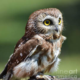 Amy Porter - Northern Saw Whet Owl