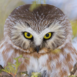 Northern Saw-whet Owl Portrait by Mircea Costina Photography