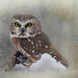 Teresa Wilson - Northern Saw-whet Owl