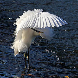Not Under Here - Birds - Snowy Egret by HH Photography of Florida