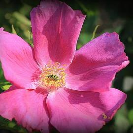 Dora Sofia Caputo Photographic Design and Fine Art - November Rose