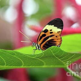 Karen Adams - Numata Longwing Butterfly