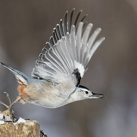 Mircea Costina Photography - Nuthatch in Action