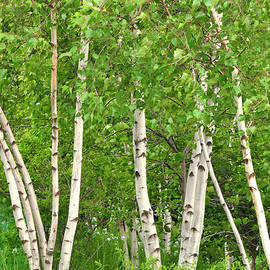 Regina Geoghan - NY High Line White Birch Trees