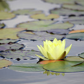 Akos Horvath - Nymphaea - yellow waterlily - Aquatic vegetation, water plants