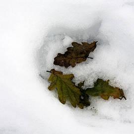 Oak Leaves lying in the snow winter Poynton Cheshire England