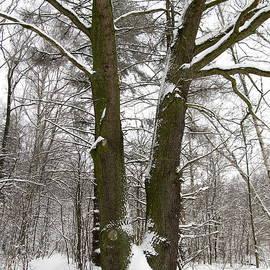Oak by Wojtek Kowalski