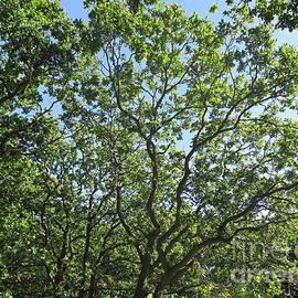 Oaks In The Noordhollandse Duinreservaat by Chani Demuijlder
