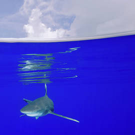 Oceanic White Tip Shark Under the Bahamian Clouds