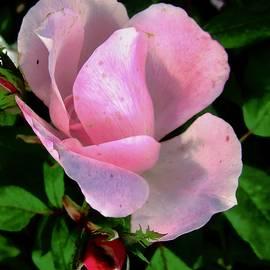 Stephanie Moore - October Rose 1