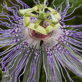 Kathy Clark - Odd Frilly Purple Passion Flower Blossom