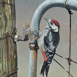 Martin Wilneff - Old Fence Great Spotted Woodpecker