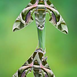 Marco Fischer - Oleander hawk-moths