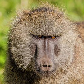 Morris Finkelstein - Olive Baboon Stare