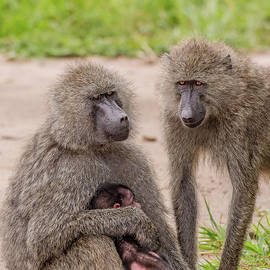 Morris Finkelstein - Olive Baboons and their Baby
