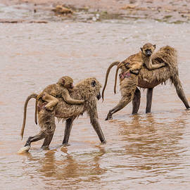 Morris Finkelstein - Olive Baboons and Youngsters Crossing the River