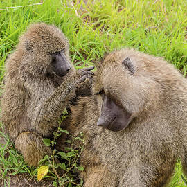 Morris Finkelstein - Olive Baboons Grooming Each Other