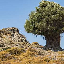 Olive Giant on Rocky Island by Bob Phillips