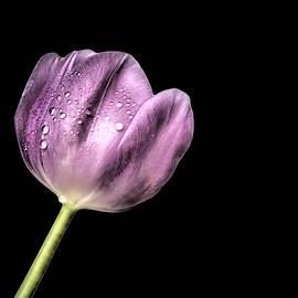 Carol Cottrell - One Beautiful Perfect Tulip