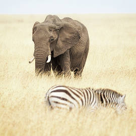 One Elephant and Zebra in Africa - Susan Schmitz