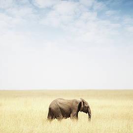 One Elephant Walking in Grass in Africa - Susan Schmitz