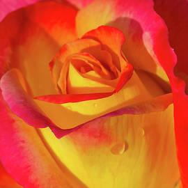 Julie Palencia - One Macro Rose