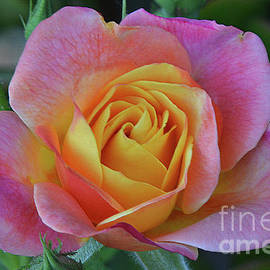 One of Several Roses by Debby Pueschel