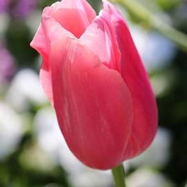 Cynthia Guinn - One Soft Pink Tulip