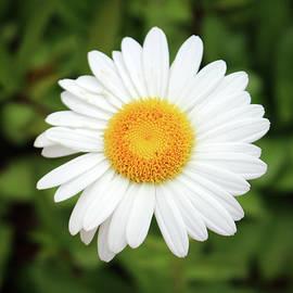 One White Daisy by Cynthia Guinn