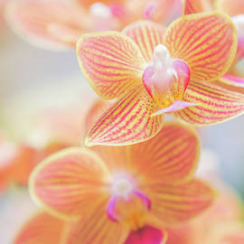 Orange and Pink Orchids by Sarah Throckmorton