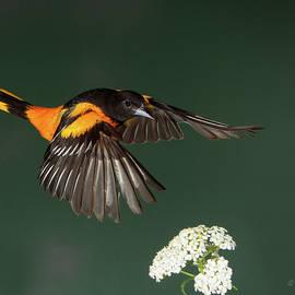 Gerry Sibell - Orange and Yarrow