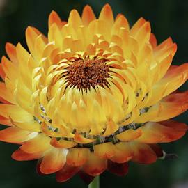 Judy Whitton - Orange and Yellow Strawflower