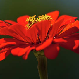 Orange Aster-A Bee's Eye View