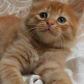 Orange Baby Crush Kitten by Pamela Benham