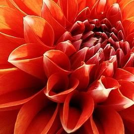 Orange Dahlia Blossom by Bruce Bley