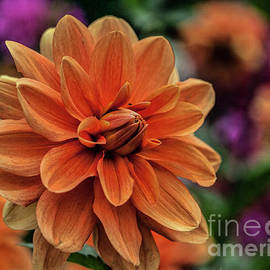Shirley Mangini - Orange Dahlias