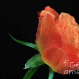 Tracy Hall - Orange Flame Rose