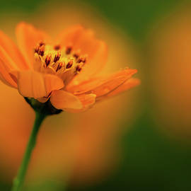 Orange Flower by Mahesh Balasubramanian