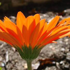 Orange Glory by Mary Halpin