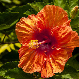 Brian Harig - Orange Hibiscus