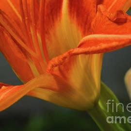 Robyn King - Orange Lily